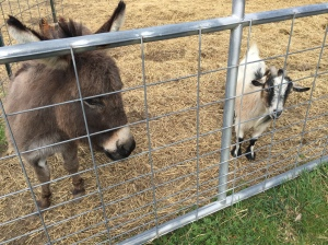 Donkey and goat